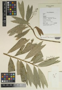 Palm Specimen in Kew Herbarium (Photo: RBG Kew)